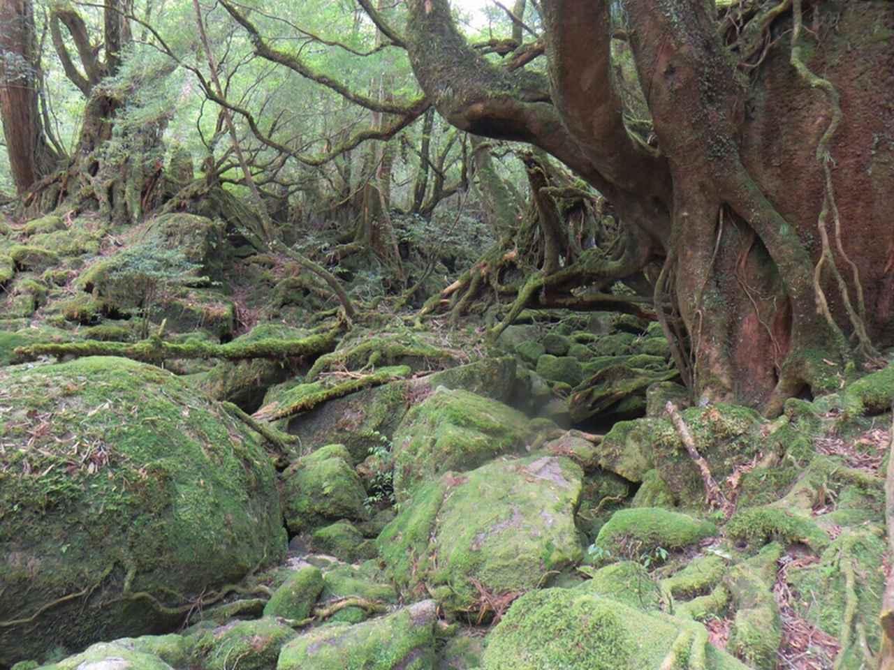 画像: 【縄文杉とは?】杉の木・他の屋久杉との違い
