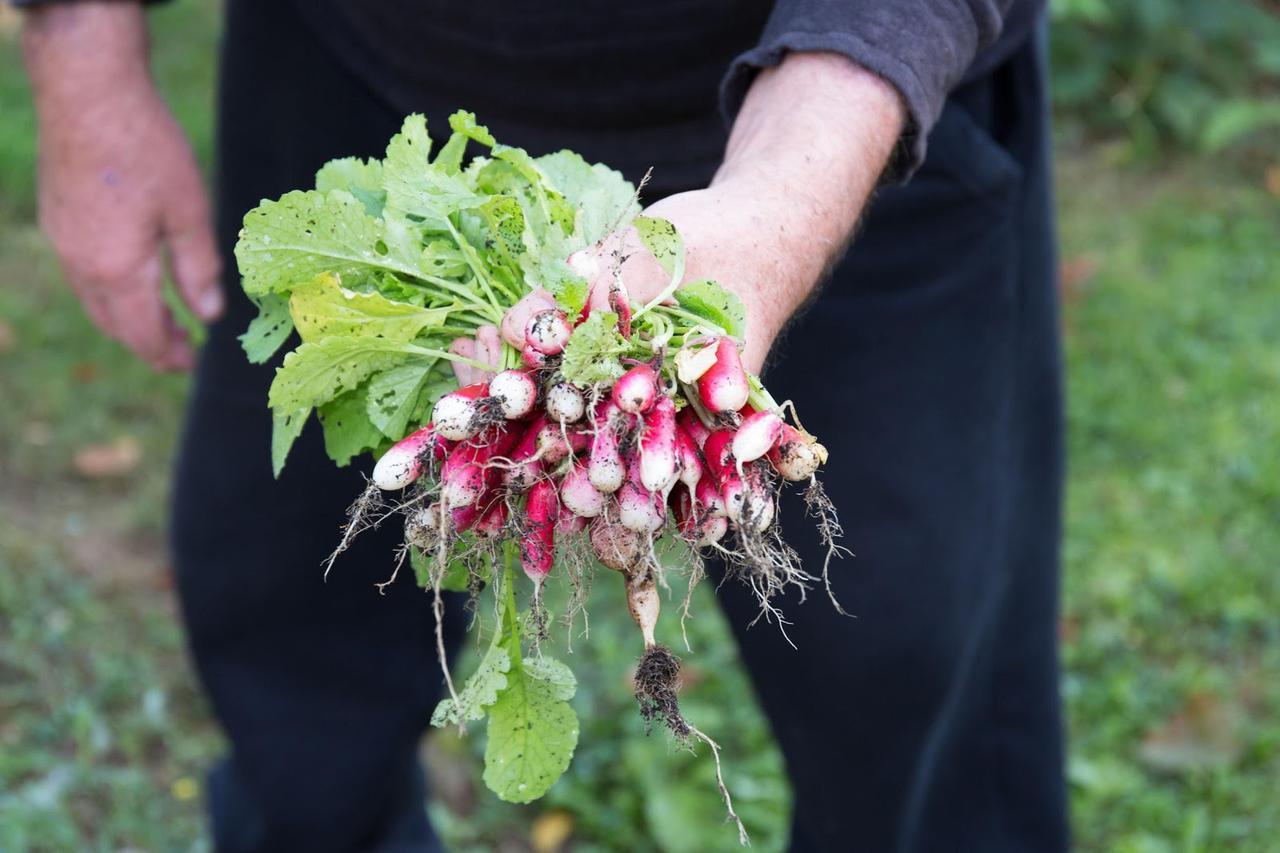 画像: ベランダ菜園におすすめのミニ野菜その2:はつか大根(ラディッシュ)