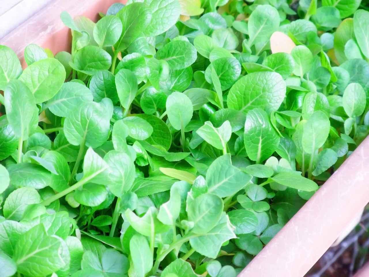 画像: ベランダ菜園におすすめの野菜その3:小松菜