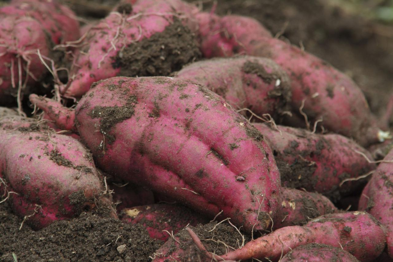 画像: さつまいも(薩摩芋)の旬は「収穫期とその2ヶ月後」の2回あり! 貯蔵した方が美味しくなる!?
