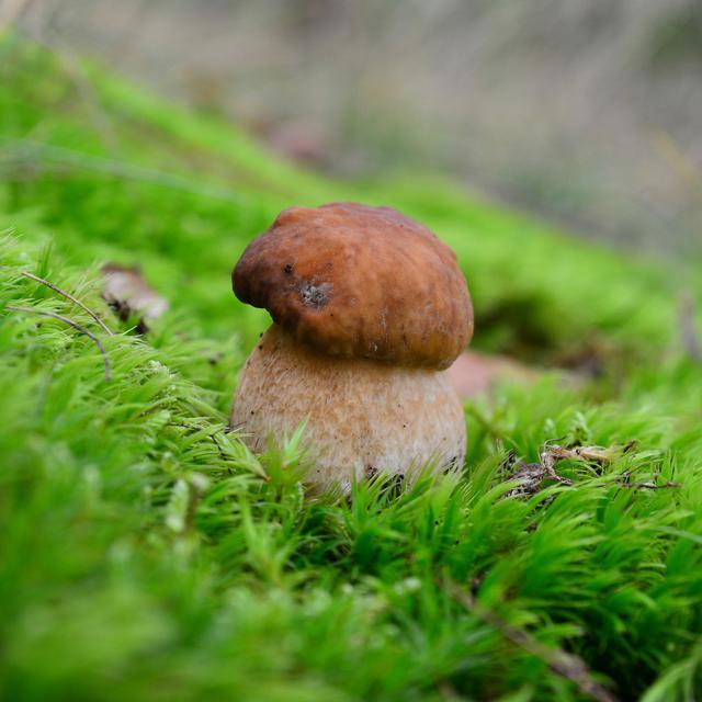 画像: 森のキノコ・ヤマドリタケモドキ イメージ