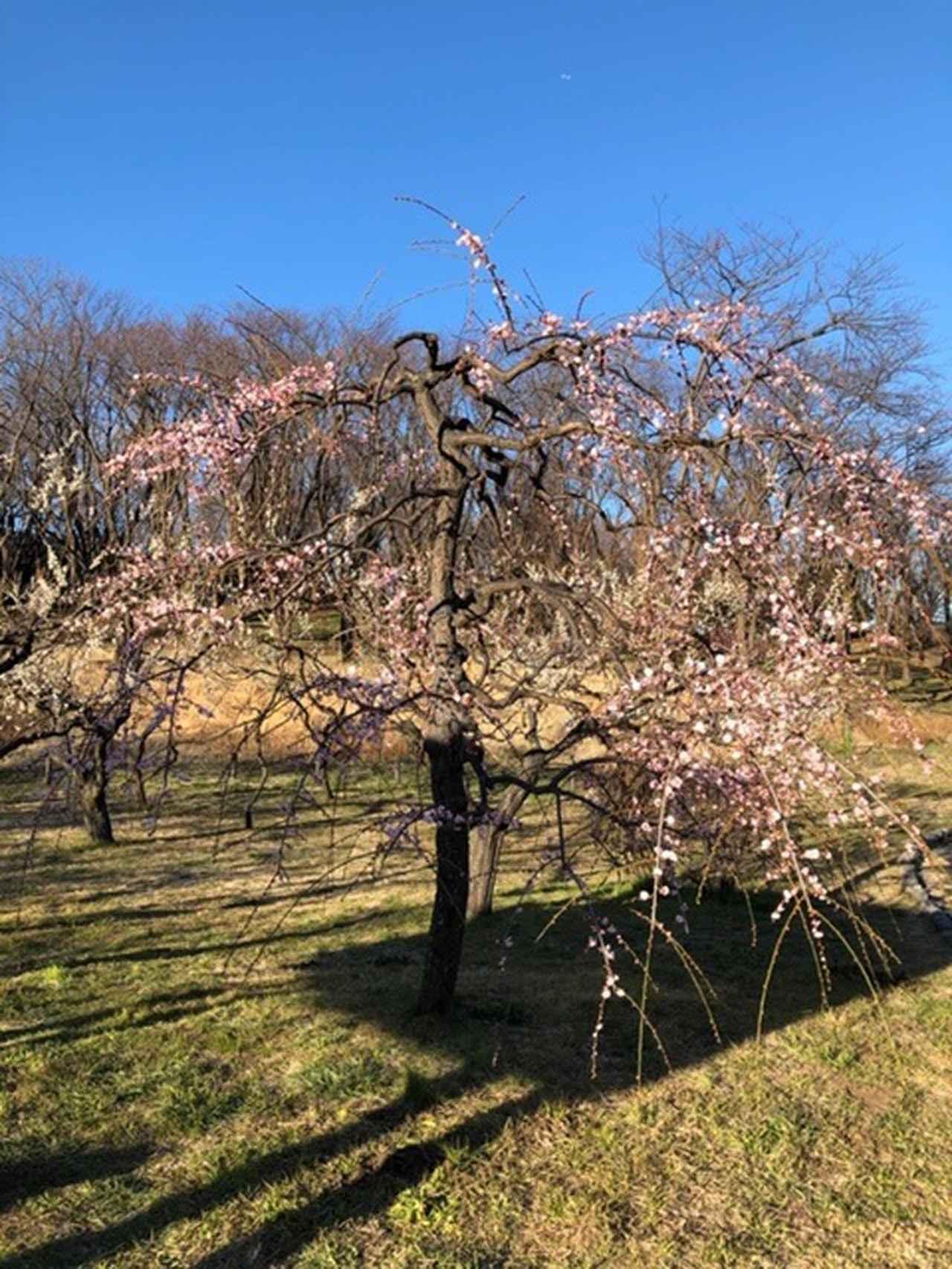 画像: 枝垂れ梅