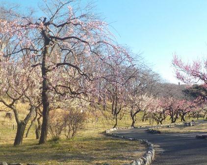 画像: 根岸森林公園の梅林