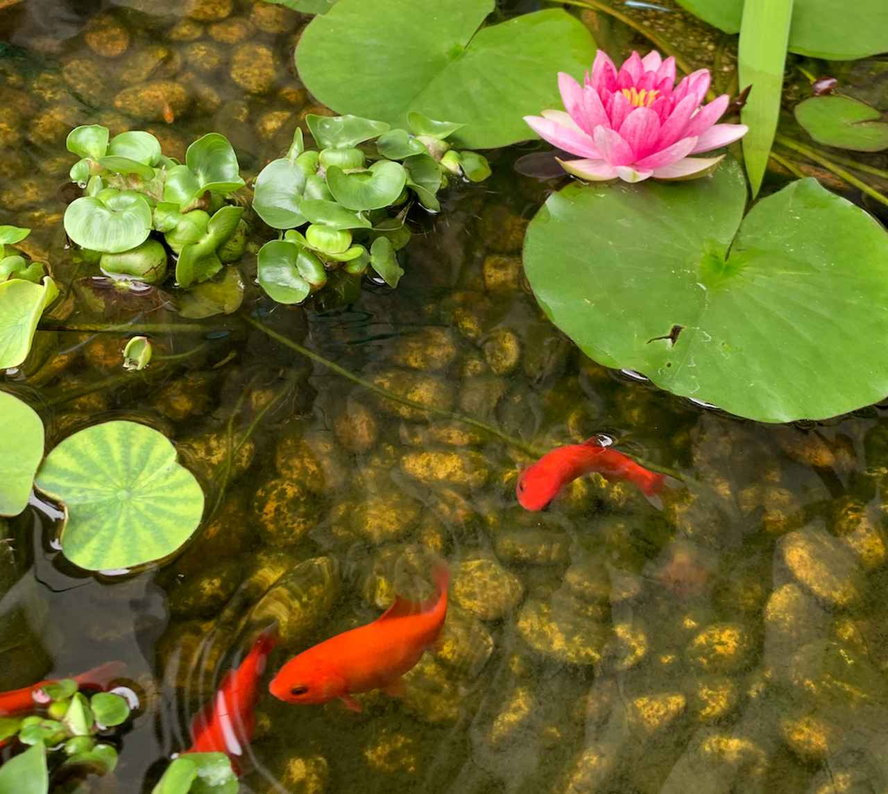 画像: お母さんが家の池で繁殖させて金魚。 稚魚は保護しないと食べられるらしい。 今年こそはカブトムシを飼うぞ!
