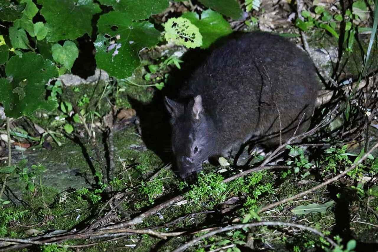 画像: 奄美大島と近隣の徳之島にしか生息しないとされるアマミノクロウサギ