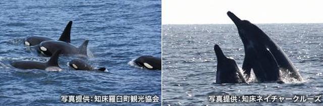 画像: 羅臼町から観光船に乗って、海の野生動物たちに出会う