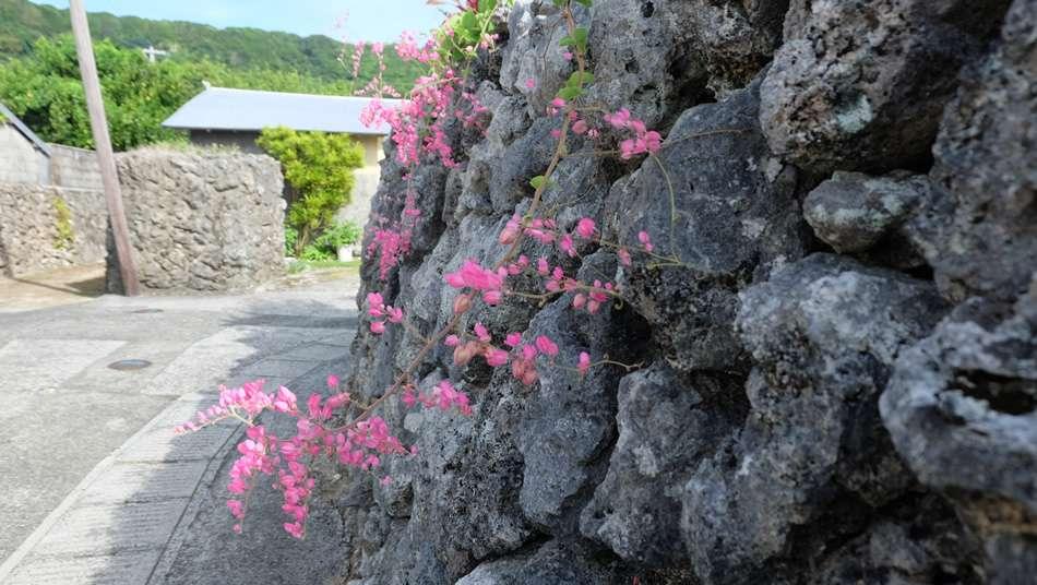 画像: 花良治集落の珊瑚の石垣に、鮮やかなピンク色のアサヒカズラが映える
