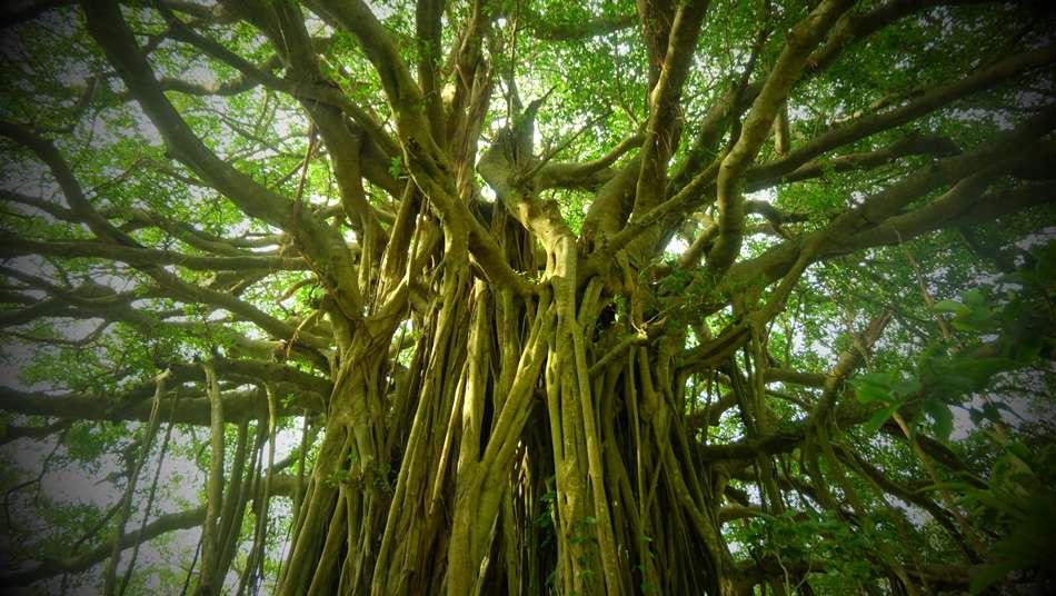 画像: 手久津久集落の巨大なガジュマルの木