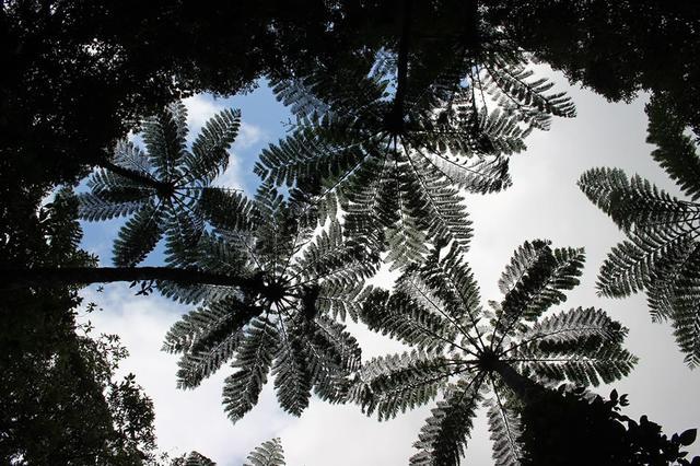 画像: 森のなかでは、大型シダ植物のヒカゲヘゴが空を覆う