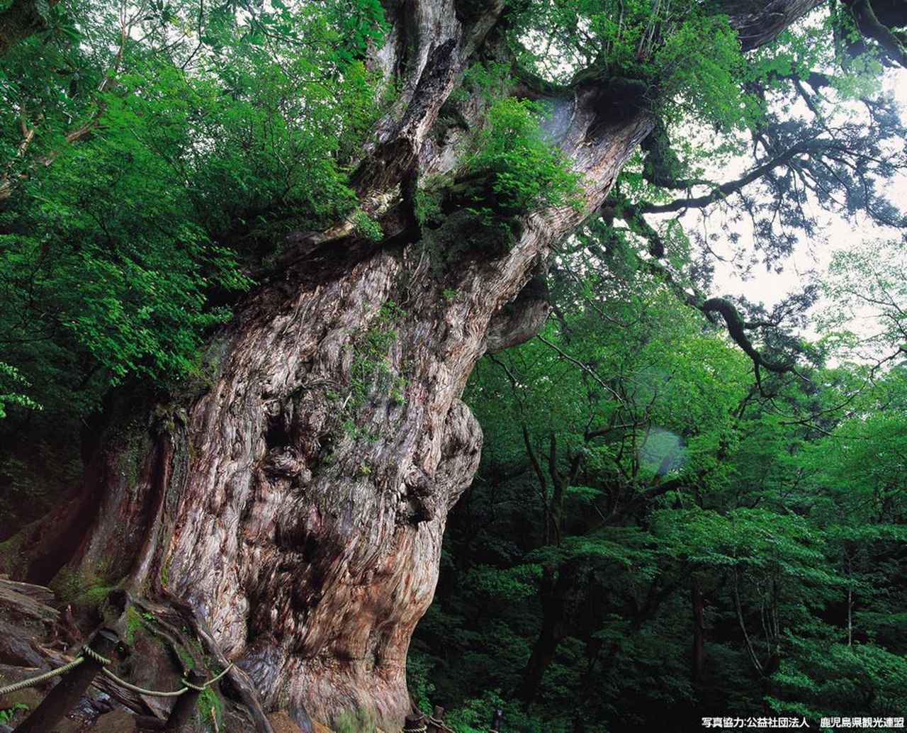 画像: 屋久杉が待つ場所へ。世界遺産の森を歩く