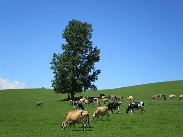 画像: 敷地内には約90頭のジャージー牛やブラウンスイス、そして最近、ホルスタインも仲間入り。基本的に、放牧!