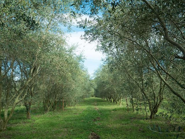 画像: 広大なオリーブ農園