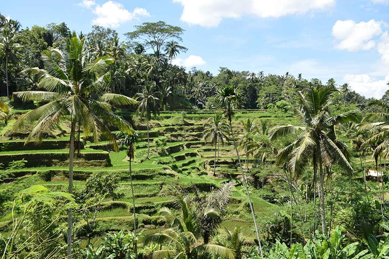 画像: バリ島では三毛作が行われるため、訪れる時期により、さまざまなライステラスの景観が楽しめる