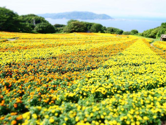画像: のこのしまアイランドパークの菜の花畑