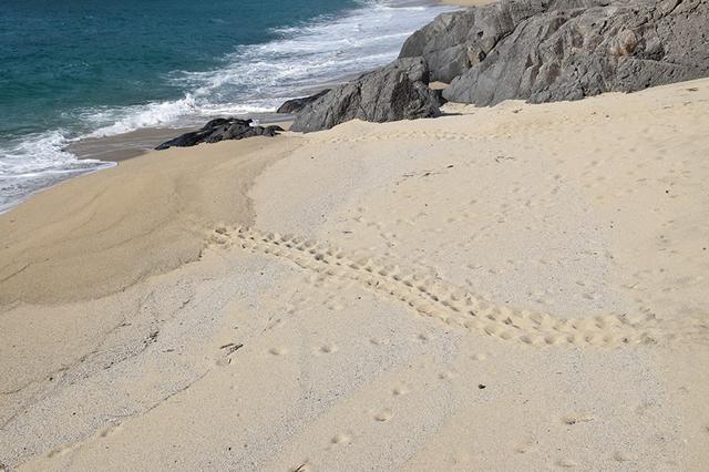 画像: 砂浜に残されたキャタピラーのようなウミガメの足跡は夏の風物詩