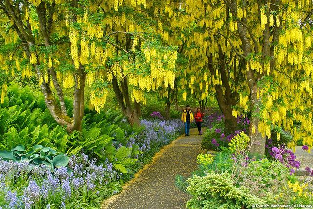 画像: バンデューセン植物園 キバナフジ
