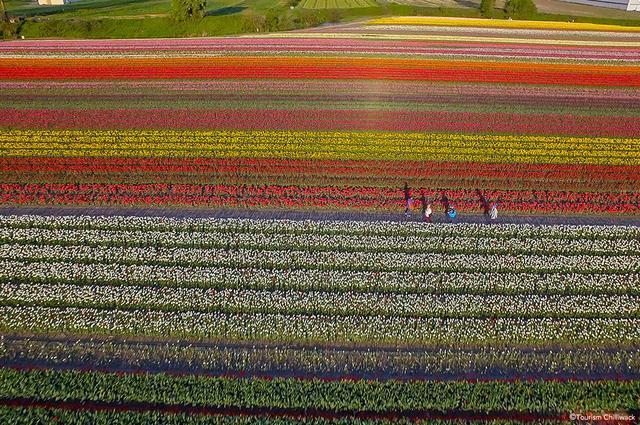 画像: 郊外に足を延ばして一面のチューリップ畑を眺める。