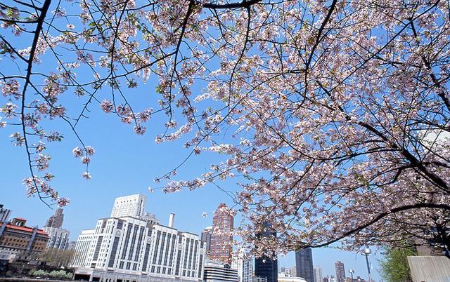 画像1: 桜の花に彩られた春のニューヨークへ