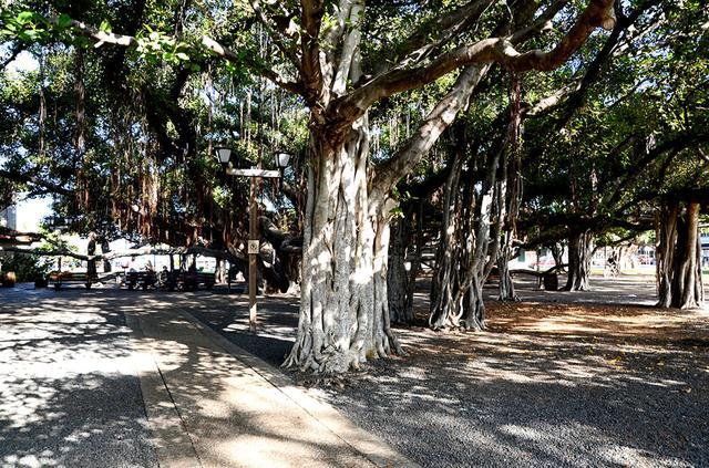 画像: 「バニヤンツリー広場(Lahaina Banyan Court)」