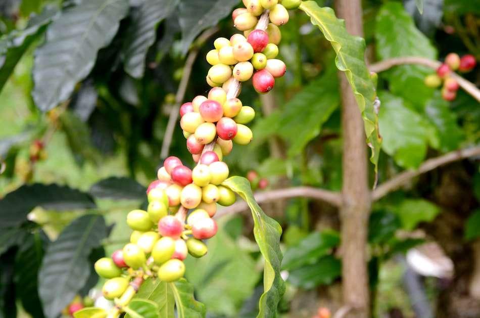 画像: 小さなフルーツのようなコーヒーの実。真っ赤に熟してから、ひとつずつ手で丁寧に収穫していく