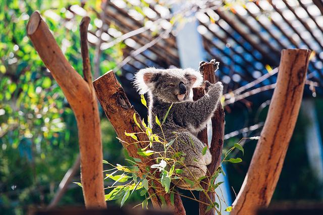 画像: コアラが夜間に活発に行動する様子が見られるかも? © Destination NSW
