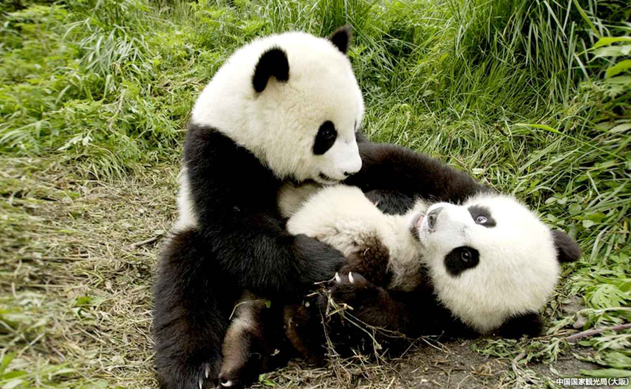 画像: ジャイアントパンダ保護区で出合う「白」と「黒」