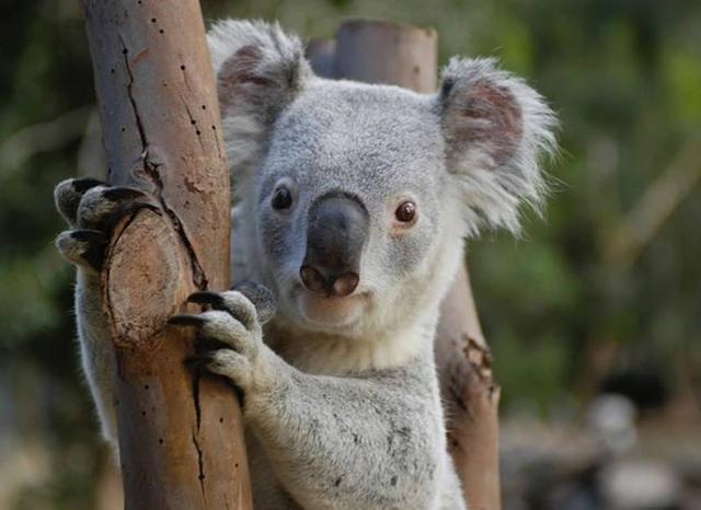 画像: Featherdale Wildlife Park(フェザーデールワイルドライフパーク)はシドニー市内で野生のコアラを見ることができる唯一の場所