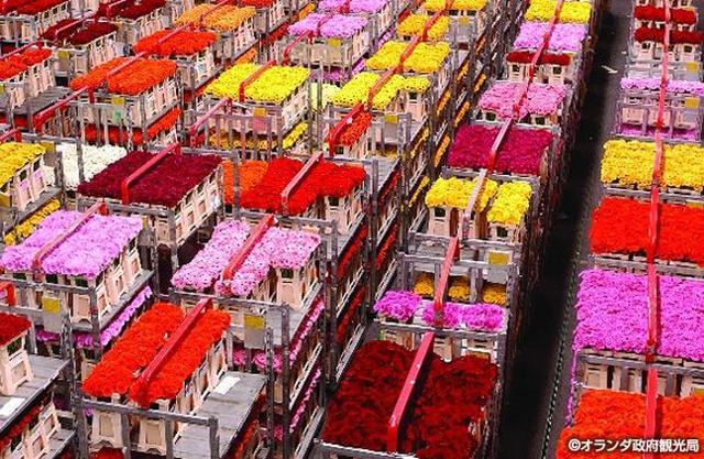 画像2: チューリップのほかにも色々!花咲く、春のオランダへ。