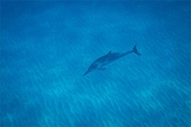 画像5: 現地スタッフが体験!~ 野生のイルカと泳ぐツアー ~