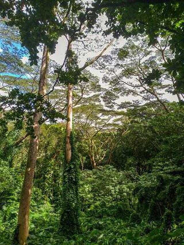 画像5: (ハワイ)現地スタッフが体験!~コオラウ山脈南東端の南側に広がる マノア・フォールズ~