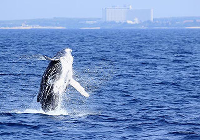 画像4: 機内からザトウクジラが見えるかも!?