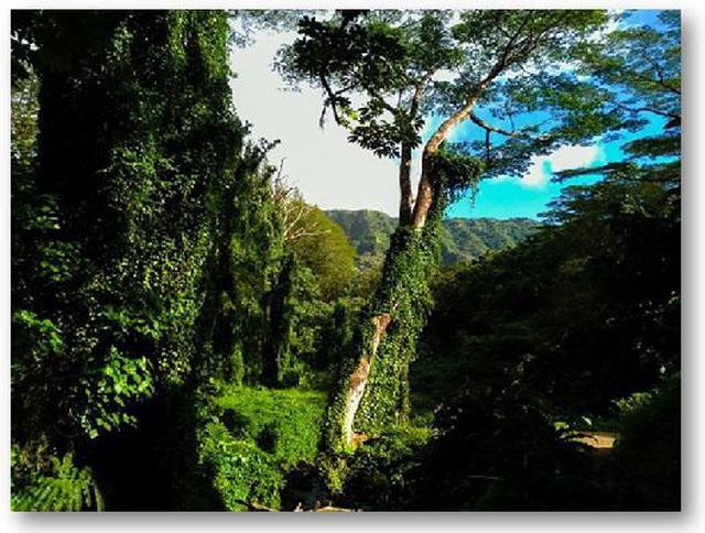 画像4: (ハワイ)現地スタッフが体験!~コオラウ山脈南東端の南側に広がる マノア・フォールズ~