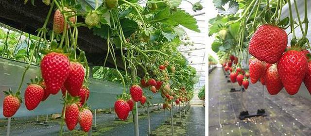 画像2: (沖縄)大人気!沖縄でイチゴ狩り