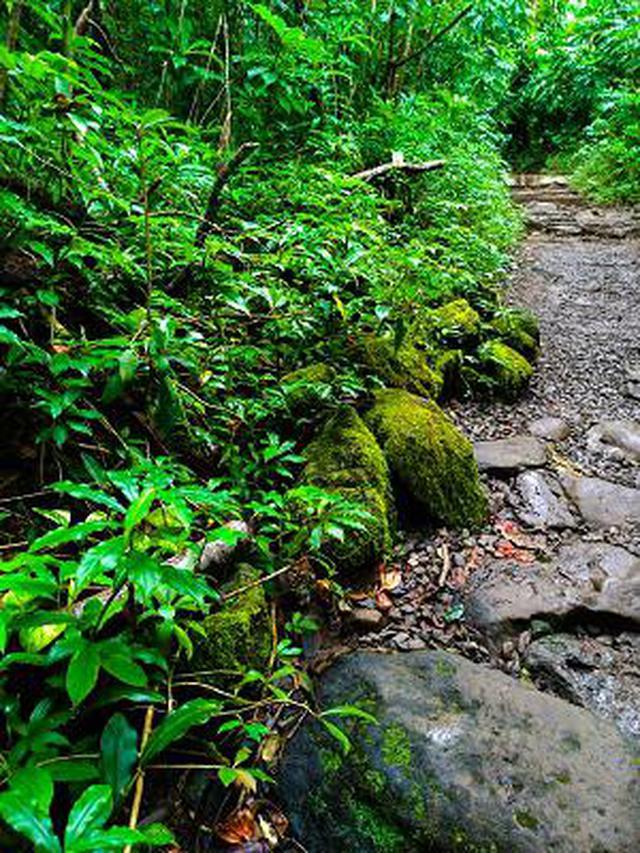画像12: (ハワイ)現地スタッフが体験!~コオラウ山脈南東端の南側に広がる マノア・フォールズ~