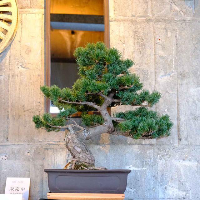 画像: 盆栽も「松の盆栽 生産量日本一」である高松のものづくりのひとつ。粋で洒落た雰囲気です。