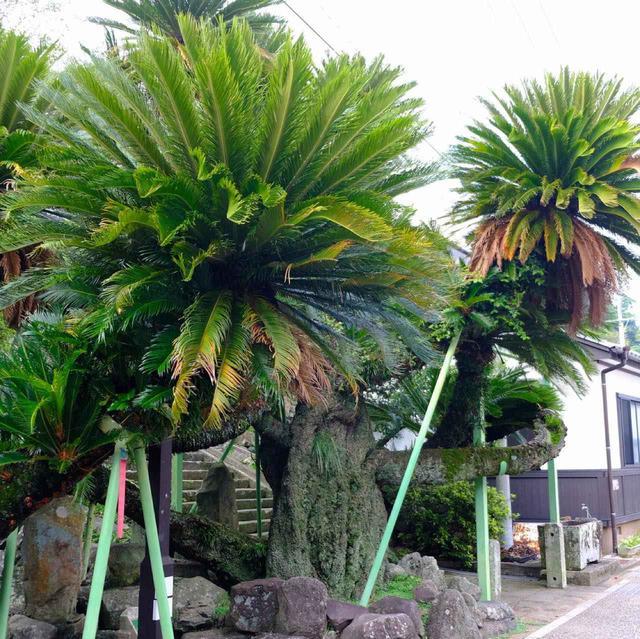 画像: 樹齢は詳しくわかっていないものの、400年を超えるのではないかと言われる大ソテツ。長崎ではソテツの木を良く見かけます。これはカトリックの儀式の中で使うからと教えてもらいました。儀式「枝の主日」にはシュロの葉の代わりにソテツの葉を用いてミサが行われます。