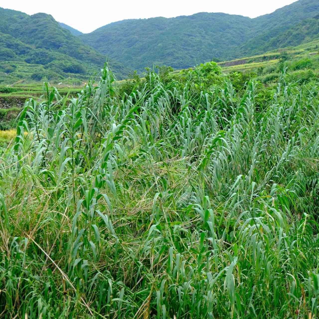 画像: こちらはダンジク=暖竹という植物。背の高い暖竹の中に隠れて弾圧を逃れようとした家族がついに見つかり処刑されてしまったことを歌った「ダンジク様の歌」も生月島で歌い継がれている曲です。