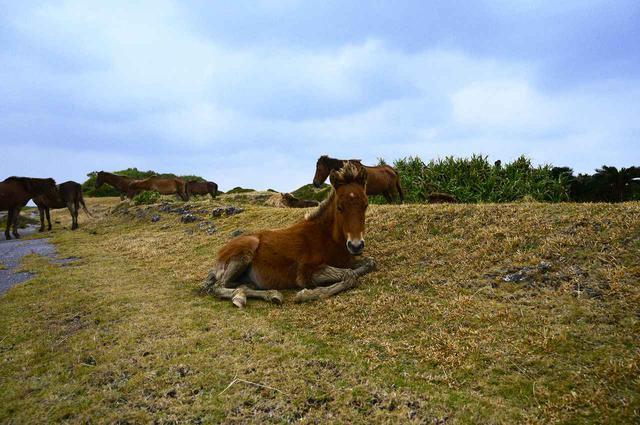 画像: 2.与那国馬だけでなく牛たちも間近で見られる東牧場
