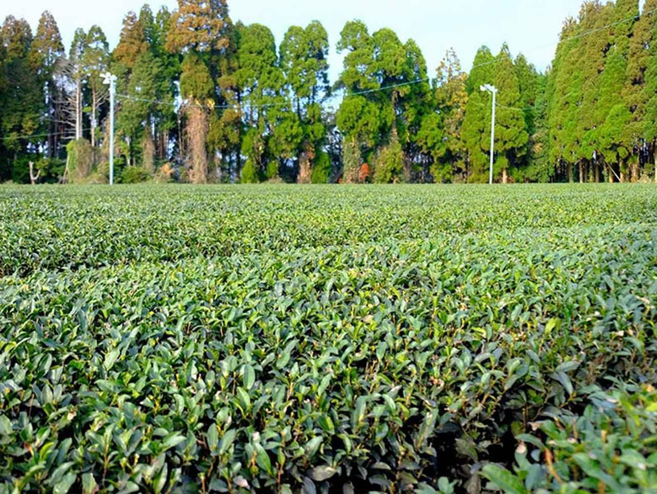 画像: 茶どころ鹿児島らしい風景。大きな茶畑が広がる中を進みます。