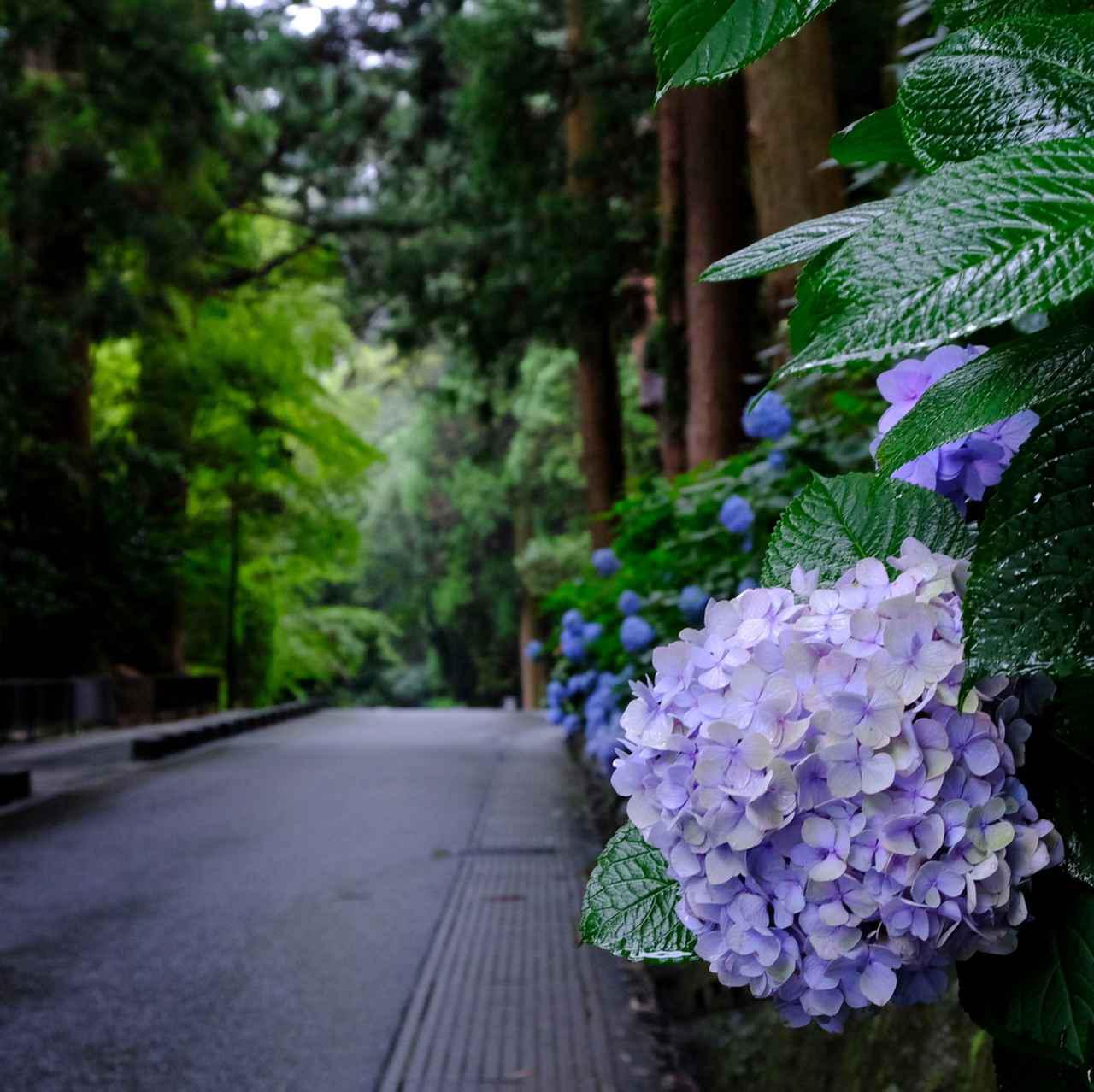 画像: さて次のスポットは「瑞鳳殿」。雨が似合うアジサイがあちらこちらに咲いています。ここは、独眼竜で知られる仙台藩初代藩主伊達政宗の御霊が祀られる霊屋です。