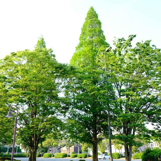 画像: 記念会館前に植えられているのは「メタセコイア」の木。メタセコイアは長い年月をかけて炭化し、宇部の石炭となった木なのです。ここに植えられていることにとても意味があって象徴的です。