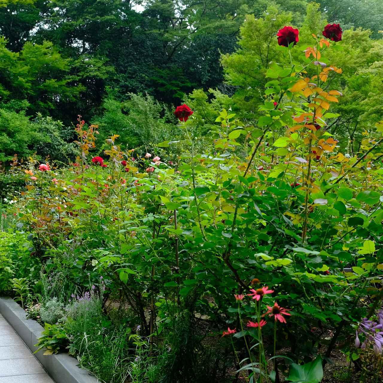 画像: 支倉常長が伝えたという洋バラにちなみ、また、霊屋にも描かれているという由縁でつくられたバラ園。バラ園を持つお寺は日本中くまなく探してもなかなか無く、オリジナリティを感じます。