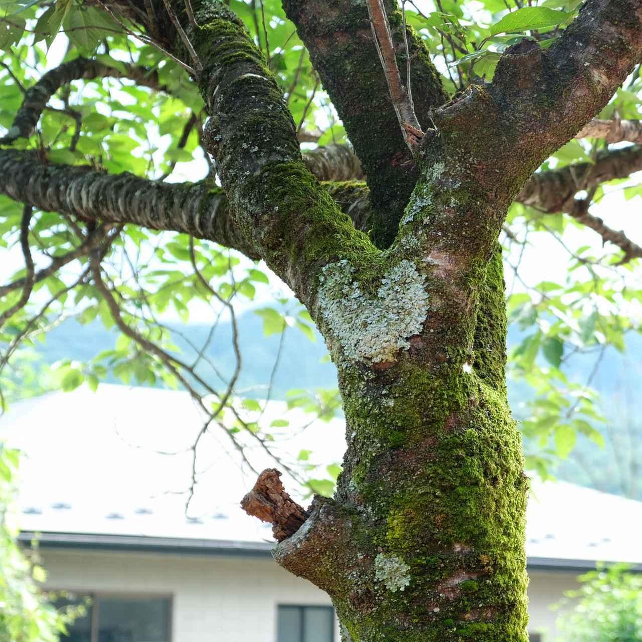 画像: 庭の桜の木にあるハートもトムさんのお気に入り。ぜひ皆さんも探してみてください。