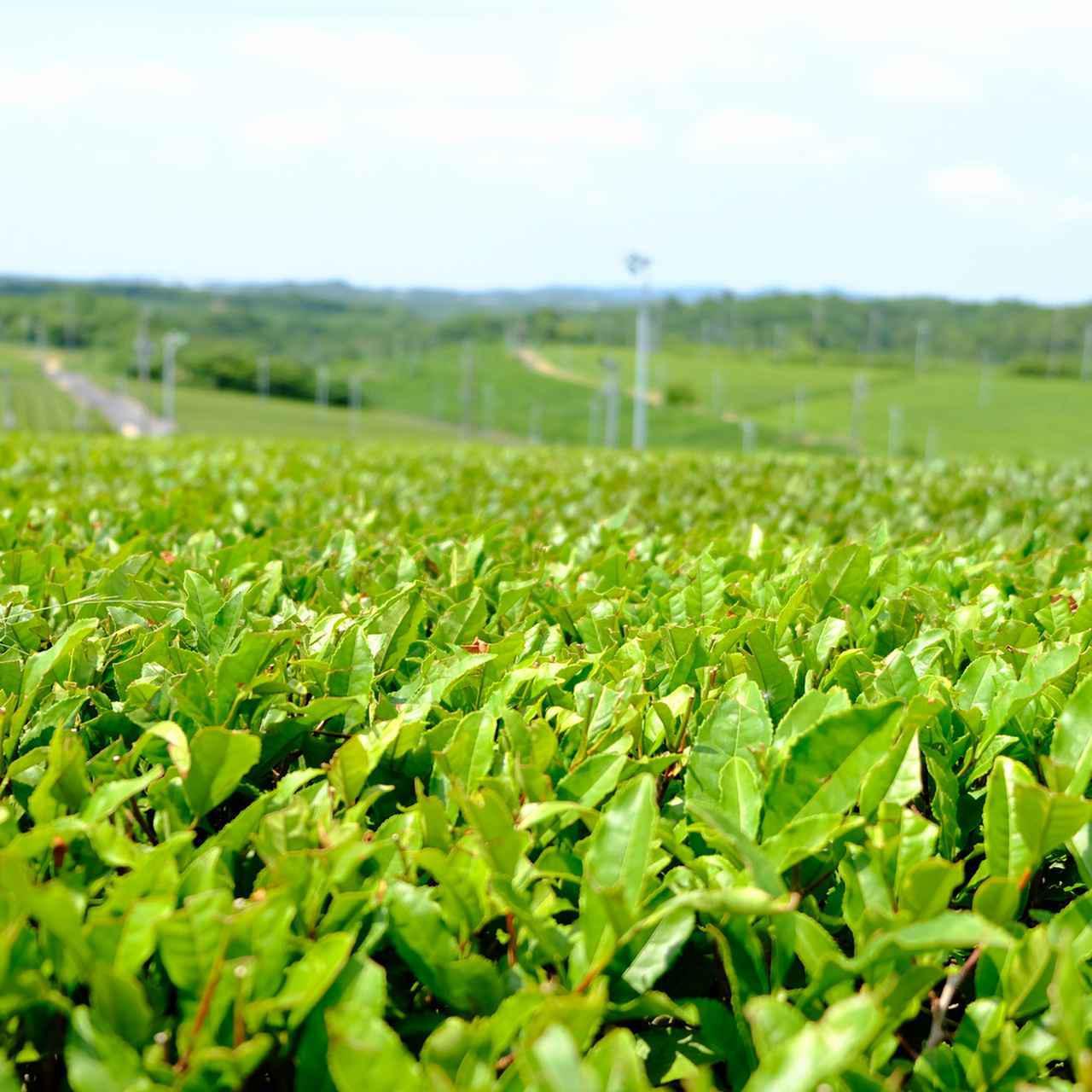 画像: 宇部市小野地区にある「藤河内茶園」は西日本最大の面積を持つ茶畑。5月の一番茶が刈り取られた畑では、2番茶の生育・刈り取りが始まっています。