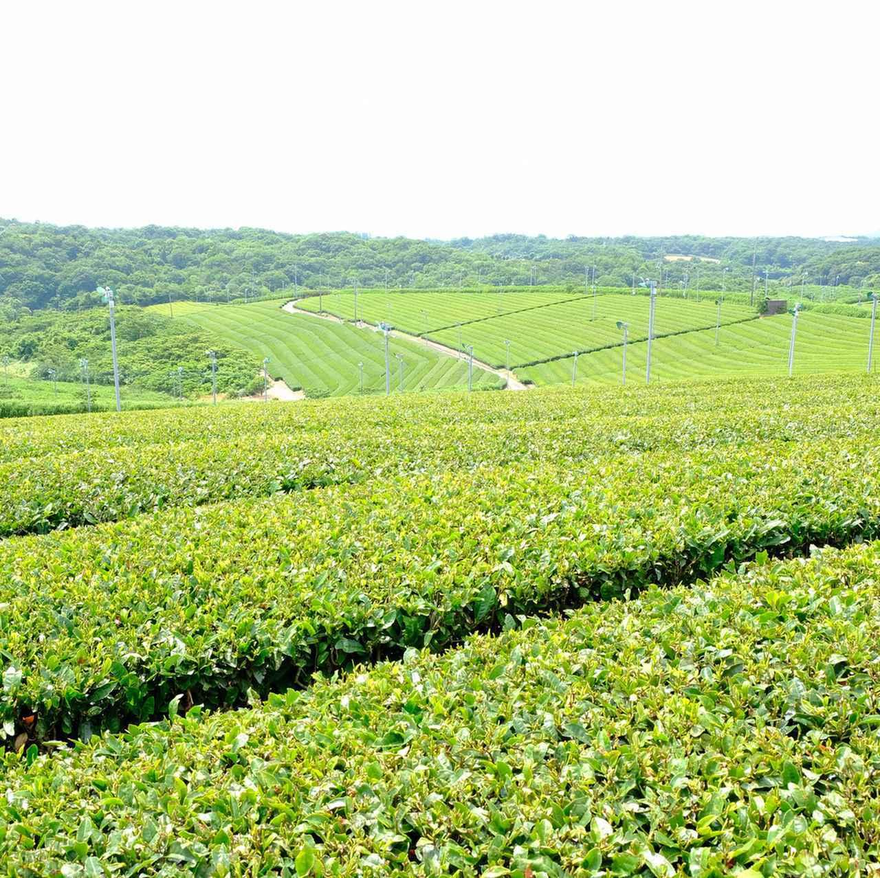 画像: 広大な茶園に圧倒されました…。山口にこんなところがあったなんて。360度の絶景でした。