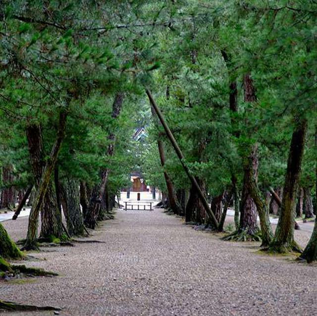 画像: 松の参道。大正時代くらいまではこの松並木の両側は水田でした。松の木には樹齢400年というものも残っています。