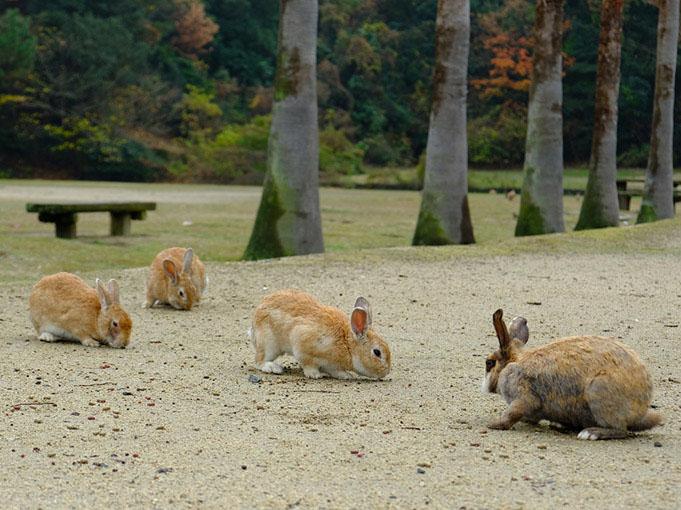 画像: このウサギたちがここにいるのは、対岸の忠海の小学校で増えすぎた7羽を島に放したことから始まりました。