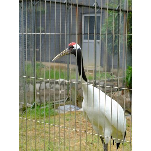 画像: その他には鳥などが多く飼われています。こちらはタンチョウ。