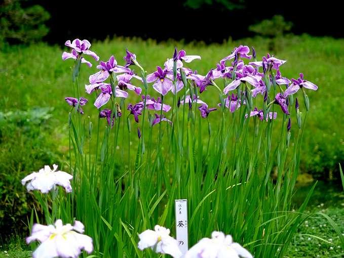 画像: 訪問した時期(7月初)は花菖蒲が見頃とのことで、団体の方たちなどが散策を楽しんでいました。江戸系の「葵の上」。