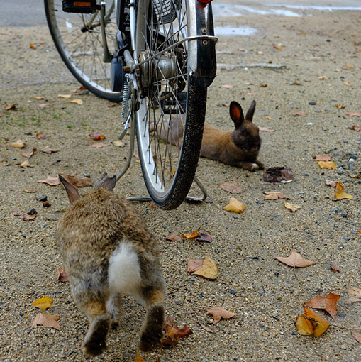 画像: 自転車を停めるとそれ以上進めなくなるくらい、周辺にたくさんのウサギが集まってきます。懐っこくてカワイイです。